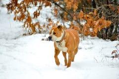 αμερικανικό σκυλί τεριέ Staffordshire σε ένα χιόνι Στοκ Φωτογραφίες