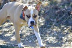 αμερικανικό σκυλί τεριέ Staffordshire, στη φύση Στοκ Φωτογραφίες