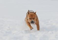 Αμερικανικό σκυλί τεριέ Staffordshire που τρέχει το χειμώνα Στοκ φωτογραφία με δικαίωμα ελεύθερης χρήσης