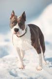 Αμερικανικό σκυλί τεριέ Staffordshire που τρέχει το χειμώνα Στοκ Εικόνες