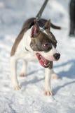 Αμερικανικό σκυλί τεριέ Staffordshire που τρέχει το χειμώνα Στοκ Φωτογραφία