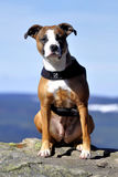 αμερικανικό σκυλί stafford Στοκ Εικόνες