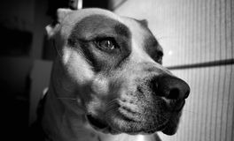 αμερικανικό τεριέ Staffordshire ταύρω Στοκ φωτογραφία με δικαίωμα ελεύθερης χρήσης