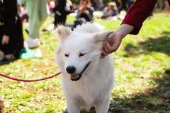 Αμερικανικό των Εσκιμώων σκυλί κατοικίδιων ζώων κοριτσιών στο πάρκο στοκ εικόνα με δικαίωμα ελεύθερης χρήσης