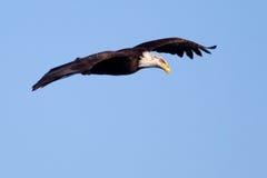 Αμερικανικό φαλακρό πέταγμα αετών Στοκ Εικόνες