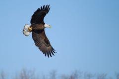 Αμερικανικό φαλακρό πέταγμα αετών Στοκ Εικόνα