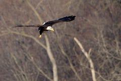 Αμερικανικό φαλακρό πέταγμα αετών Στοκ εικόνα με δικαίωμα ελεύθερης χρήσης
