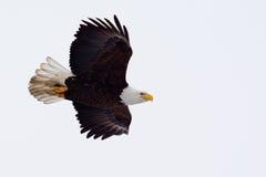 Αμερικανικό φαλακρό πέταγμα αετών Στοκ εικόνες με δικαίωμα ελεύθερης χρήσης