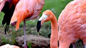 Αμερικανικό φλαμίγκο, πορτοκαλί/ρόδινο φτέρωμα, ζωολογικός κήπος Πόλεων της Οκλαχόμα και βοτανικός κήπος στοκ εικόνες