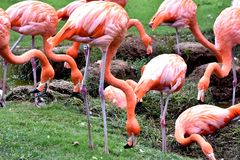 Αμερικανικό φλαμίγκο, πορτοκαλί/ρόδινο φτέρωμα, ζωολογικός κήπος Πόλεων της Οκλαχόμα και βοτανικός κήπος στοκ εικόνες με δικαίωμα ελεύθερης χρήσης