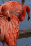 Αμερικανικό φλαμίγκο που καθαρίζει τα φτερά του Στοκ Εικόνα