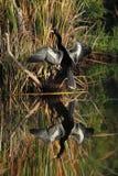 αμερικανικό ύδωρ αντανάκλασης anhinga αρσενικό Στοκ φωτογραφία με δικαίωμα ελεύθερης χρήσης