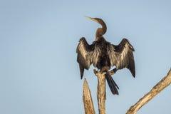 Αμερικανικό Anhinga που ξεραίνει τα φτερά του Στοκ εικόνα με δικαίωμα ελεύθερης χρήσης