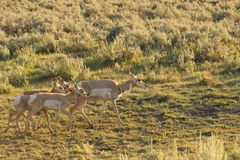 Αμερικανικό antilocapra αντιλοπών σε Yellowstone Στοκ Φωτογραφίες