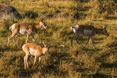 Αμερικανικό antilocapra αντιλοπών σε Yellowstone Στοκ Εικόνες