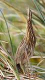 Αμερικανικό Bittern κρύψιμο σε ένα έλος Cattail - Φλώριδα Στοκ εικόνες με δικαίωμα ελεύθερης χρήσης