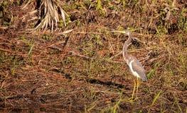 Αμερικανικό bittern πουλί lentiginosus Botaurus Στοκ φωτογραφία με δικαίωμα ελεύθερης χρήσης