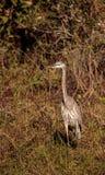 Αμερικανικό bittern πουλί lentiginosus Botaurus Στοκ Εικόνες