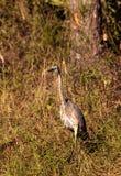 Αμερικανικό bittern πουλί lentiginosus Botaurus Στοκ φωτογραφίες με δικαίωμα ελεύθερης χρήσης