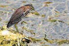 αμερικανικό bittern πουλιών Στοκ Φωτογραφία