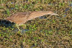 Αμερικανικό Bittern lentiginosus Botaurus Στοκ φωτογραφίες με δικαίωμα ελεύθερης χρήσης