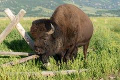 Αμερικανικό Buffalo έτοιμο να χρεώσει στοκ φωτογραφίες με δικαίωμα ελεύθερης χρήσης