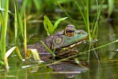 αμερικανικό bullfrog βόρειο rana catesbeiana Στοκ εικόνα με δικαίωμα ελεύθερης χρήσης