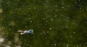 Αμερικανικό Bullfrog που επιπλέει σε μια σκοτεινή πράσινη λίμνη στοκ φωτογραφίες