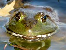 Αμερικανικό Bullfrog χαμόγελο στοκ εικόνα με δικαίωμα ελεύθερης χρήσης