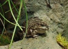 αμερικανικό bullfrog Στοκ εικόνα με δικαίωμα ελεύθερης χρήσης