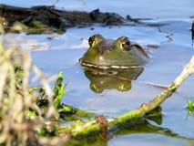 αμερικανικό bullfrog στοκ φωτογραφίες