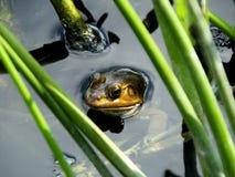 Αμερικανικό Bullfrog (catesbeianus Lithobates) στοκ εικόνες