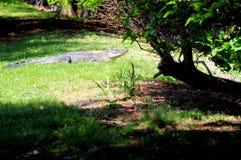 Αμερικανικό gator στη νότια Φλώριδα Στοκ εικόνα με δικαίωμα ελεύθερης χρήσης