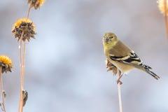 Αμερικανικό Goldfinch που σκαρφαλώνει σε έναν μίσχο κάρδων Στοκ Φωτογραφίες