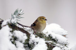 Αμερικανικό Goldfinch στην επίδειξη στοκ φωτογραφία με δικαίωμα ελεύθερης χρήσης