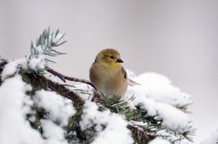 Αμερικανικό Goldfinch στην επίδειξη στοκ εικόνες