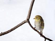 Αμερικανικό Goldfinch στο χειμερινό φτέρωμα στοκ εικόνες