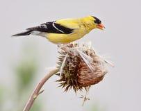 αμερικανικό goldfinch Στοκ φωτογραφίες με δικαίωμα ελεύθερης χρήσης