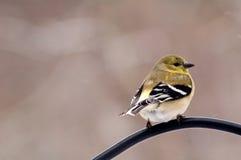 αμερικανικό goldfinch στοκ εικόνες
