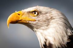 Αμερικανικό Osprey Στοκ φωτογραφίες με δικαίωμα ελεύθερης χρήσης