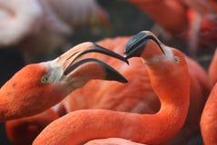 αμερικανικό phoenicopterus φλαμίγκο ru Στοκ Φωτογραφία