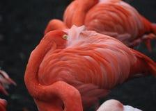 αμερικανικό phoenicopterus φλαμίγκο ru Στοκ εικόνες με δικαίωμα ελεύθερης χρήσης