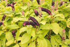 Αμερικανικό phytolacca pokeweed- αμερικανικό Στοκ φωτογραφία με δικαίωμα ελεύθερης χρήσης