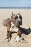 αμερικανικό pitbull Στοκ Εικόνες