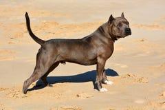 Αμερικανός φοβερίζει το σκυλί Στοκ φωτογραφία με δικαίωμα ελεύθερης χρήσης
