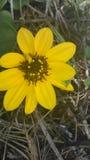 Αμμόλοφος wildflower Στοκ Εικόνες