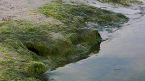 Αμμώδης ακτή της Μαύρης Θάλασσας με τα πράσινα άλγη μετά από τη θύελλα, Ουκρανία φιλμ μικρού μήκους