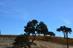 Αμπελώνας πτώσης Robles Paso με το δρύινο δέντρο και τα καταπληκτικά χρώματα φθινοπώρου Στοκ φωτογραφίες με δικαίωμα ελεύθερης χρήσης