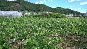 Αμπελώνας στην Ιαπωνία απόθεμα βίντεο