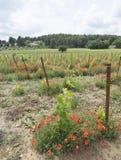 Αμπελώνας στη γαλλική περιοχή της Προβηγκίας και τις κόκκινες ανθίζοντας παπαρούνες Στοκ Φωτογραφία
